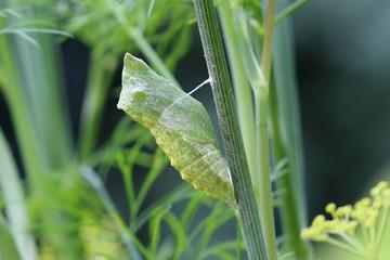 La chrysalide du papillon Machaon