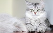 canvas print picture - siberian cat, female silver type