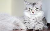 Fototapety siberian cat, female silver type