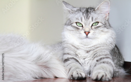 canvas print picture siberian cat, female silver type