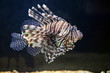 canvas print picture - Red lionfish, on a uniform dark background