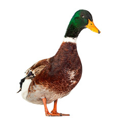 Wild duck on white