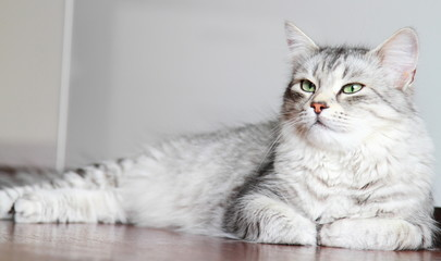 siberian cat, female silver type