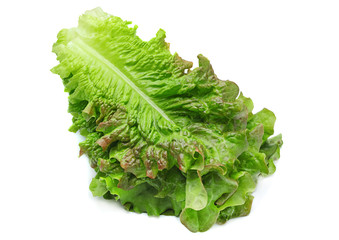 Curly lettuce salad leaf