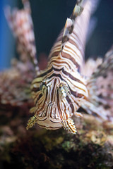 Red lionfish, a venomous coral reef fish