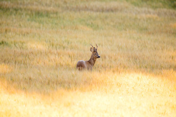 Wild roebuck walking in a field