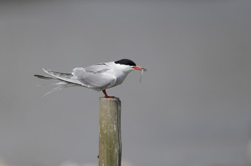 Common tern, Sterna hirundo