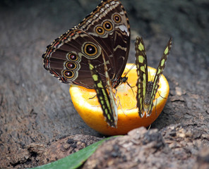butterflies feeding with orange juice