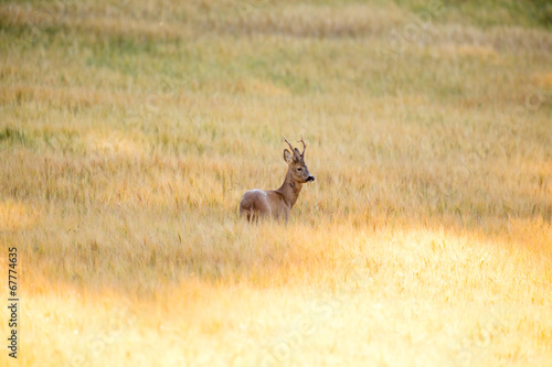 Papiers peints Roe Wild roebuck walking in a field
