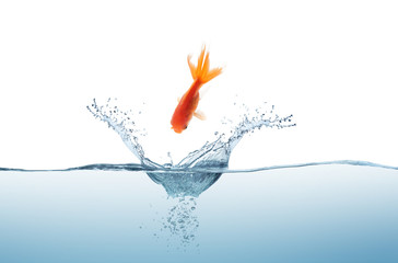 Goldfish jumping in the water