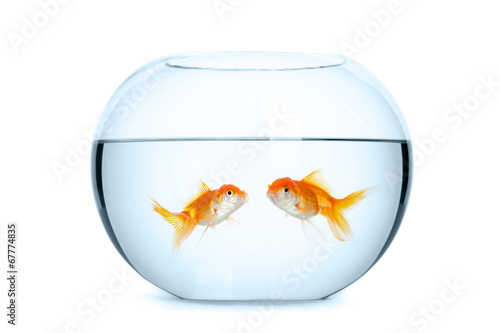 Fototapeta Small aquarium for two goldfish