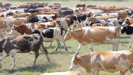 Grazing cow dairy cattle