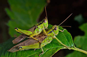 Grasshoppers 2
