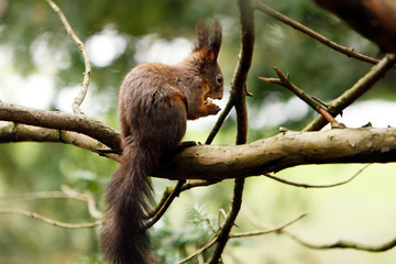 Squirrel eating nut on a branch..
