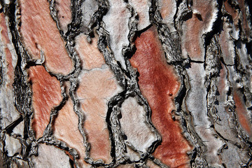 Detail of pine tree bark in red