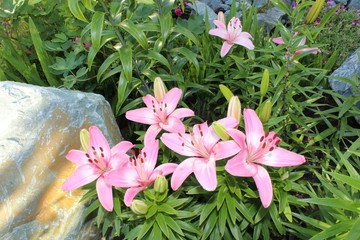 Bloom lilies in the garden
