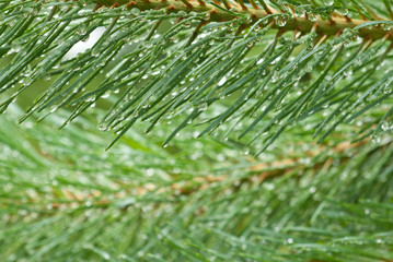 Raindrops on pine