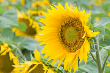 close view of a sunflower in a field