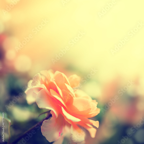 canvas print picture Defocus blur background with rose.