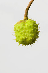 Photo of Ripe English Horse Chestnut