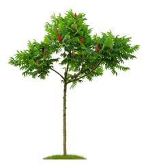Junger Essigbaum mit Fruchtständen vor weißem Hintergrund