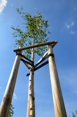 Junger Baum an Pfählen angebunden