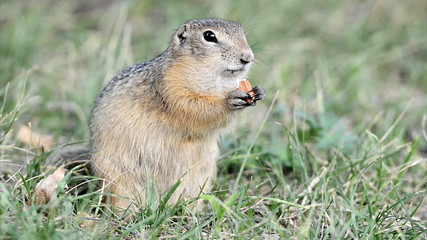 Ground squirrel eating nut