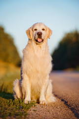 golden retriever dog portrait at sunset