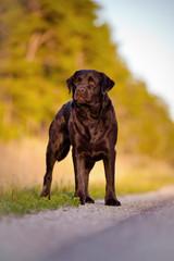 beautiful labrador retriever dog