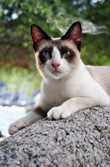 Siamese Cat sitting on a rock