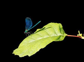 Beautiful Demoiselle, Calopteryx virgo, European damselfly