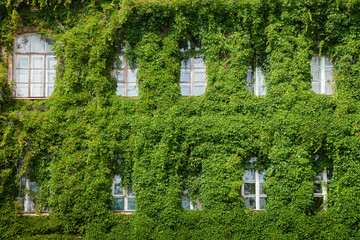 windows on home wall covered with leaves