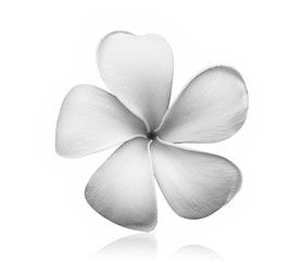 black and white Frangipani flower isolated on white background