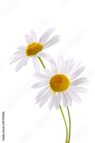 Poster Madeliefjes The beautiful daisy isolated on white