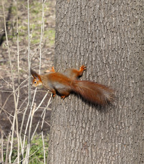 Red squirrels on tree trunk