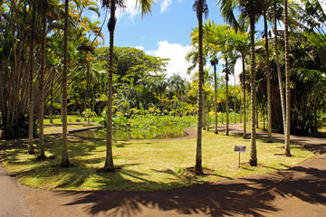 Lotusblüten, Botanischer Garten Mauritius