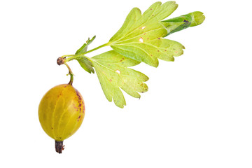 Gooseberries and struck tortricidae sheet