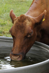 drinking cow