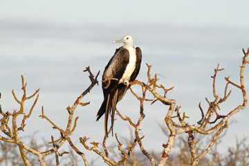 Young frigate bird in in North Seymour