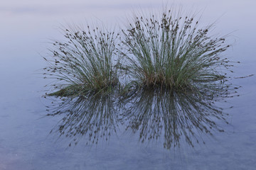 Grassweed growing in a lake.