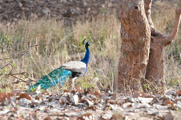 indian peacock prowling around in the forest