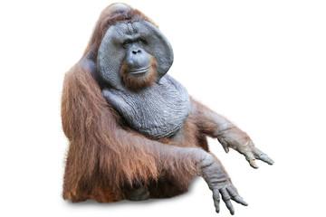 Orang utan sitting on white 2