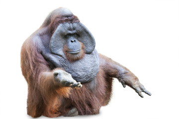 Orang utan sitting on white 3