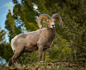 Proud Big Horn Ram from below