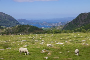 Fjord meadow and sheep 010