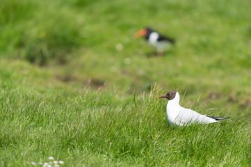black-headed gull in field