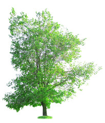 Single big tree isolated on white