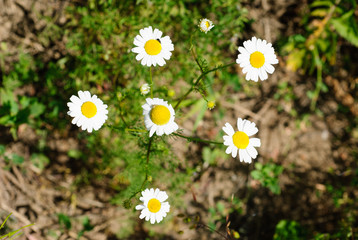 Daisies in the meadow closeup at summer