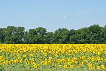 sunflowers field in Ukraine.