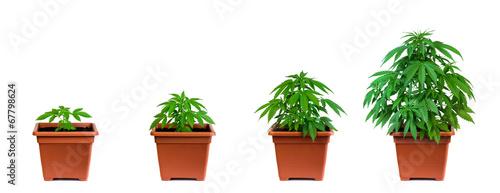 Fotobehang Planten Marijuana growing phase